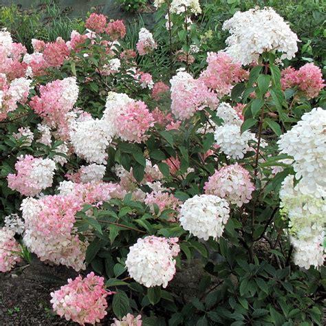 Freiland Hortensie Vanille Fraise 1625 by Hydrangea Paniculata Vanille Fraise 174 Hydrangea Vanille