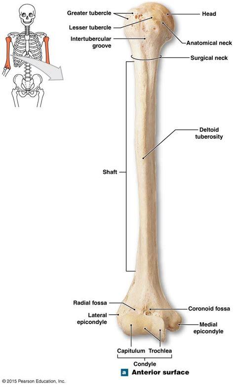 parts   condyle   humerus human skeleton