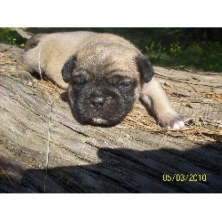 pug breeders in arkansas papaw s pooches pug breeder in mansfield arkansas