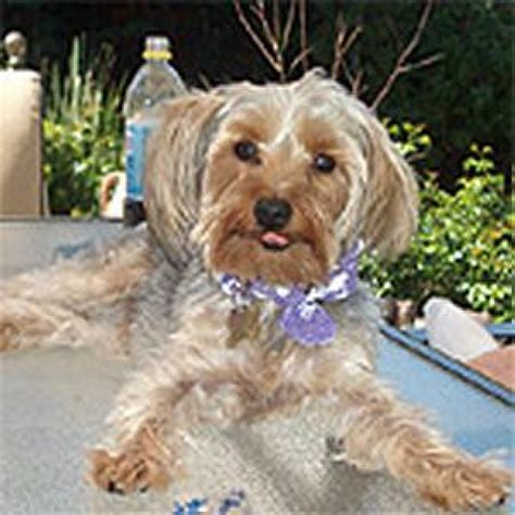 when do yorkies ears stand yorkie with floppy ears haircuts breeds picture