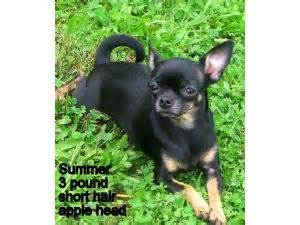 small breed puppies for sale in nashville tn chihuahua puppies in tennessee