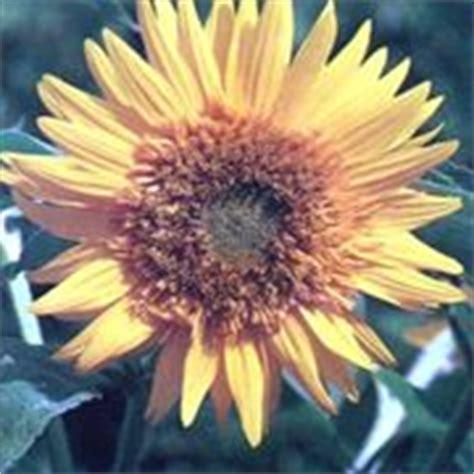 significato girasole nel linguaggio dei fiori significato girasole linguaggio dei fiori fiori di