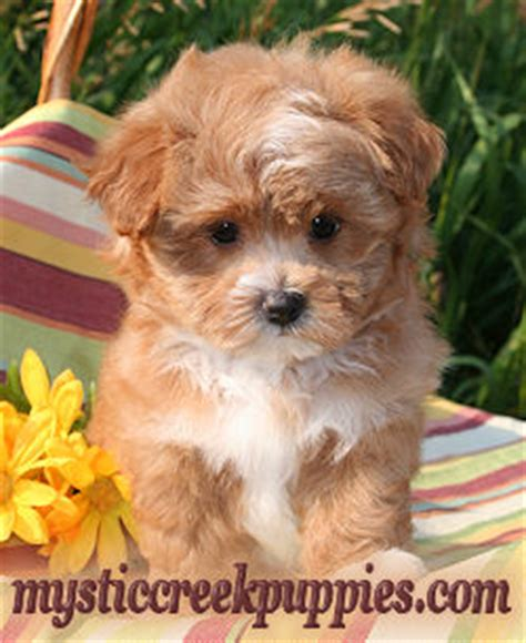 maltipoo puppies for sale near me maltipoo or akc maltese puppies from mystic creek puppies