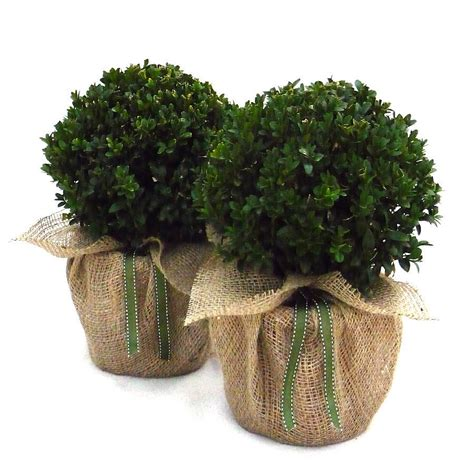 pair of buxus topiary balls by giftaplant