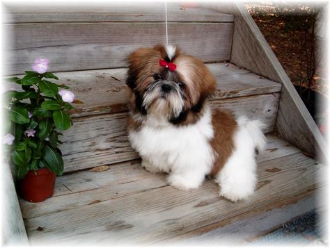 shih tzu in shih tzu puppies for sale in ga al fl tn nc sc for sale by breeders ga shih tzu