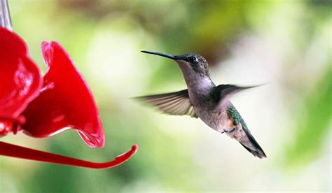 southern lagniappe hummingbirds 2015