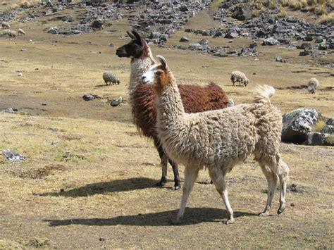 imagenes animal llama lama glama llama