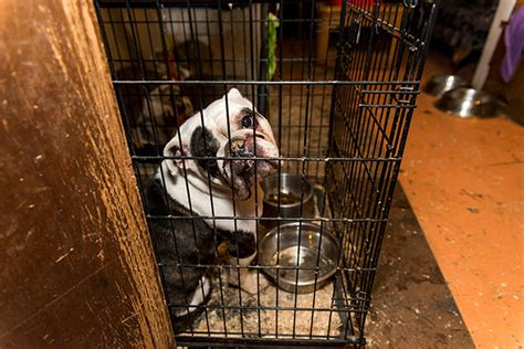 pug rescue scotia aspca rescues 50 dogs including and bulldogs from michigan puppy mill