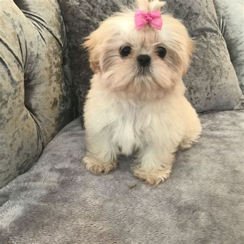 shih tzu imperial type imperial shih tzu puppy braintree essex pets4homes