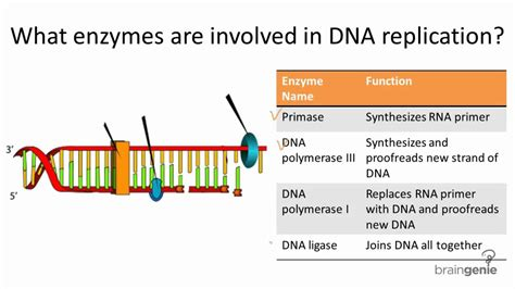 7 proteins involved in dna replication 10 2 1 enzymes involved in dna replication