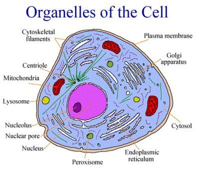 definition of animal biology function of animal cell tutorvista