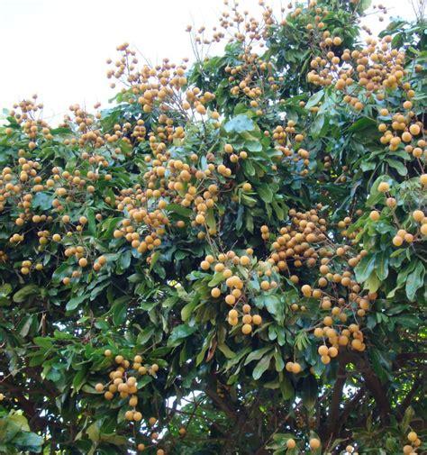 how to grow longan fruit trees tree harimurti page 2