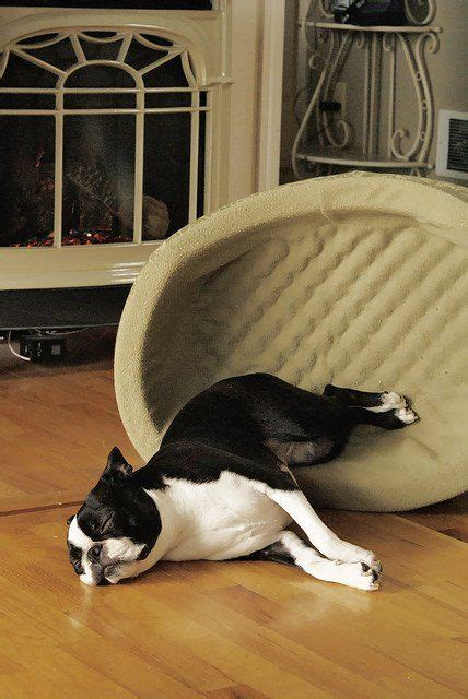 Richards Sleeps With Dogs by 17 Best Images About Boston Terriers On Boston