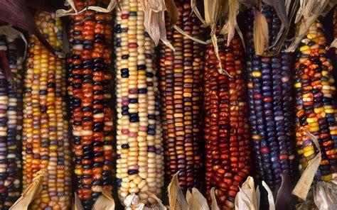 colorful corn multi colored ornamental indian corn hd wallpaper and