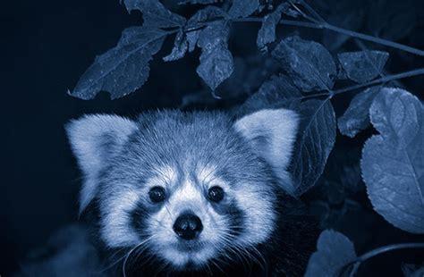 blue black and wight panda red panda cutie black blue white series by hjar 174 visit