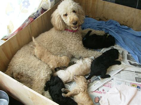 great dane poodle mix puppies for sale great dane standard poodle mix breeds picture