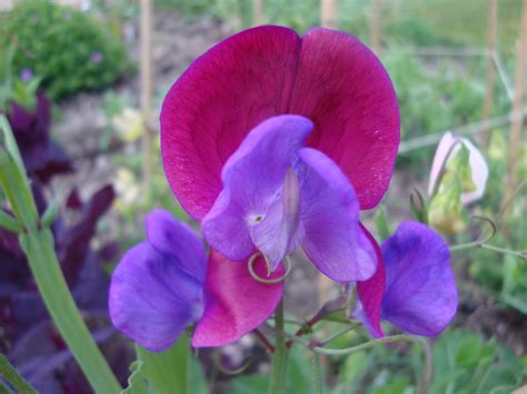 Sweet Blooms by Sweet Pea Flower Two Chances Veg Plot