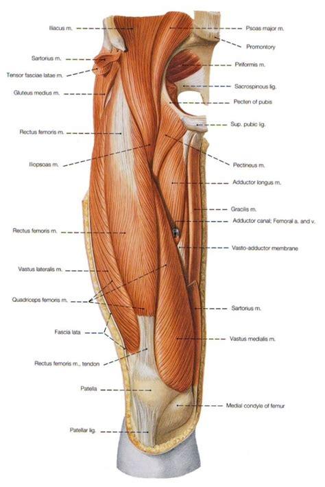 groin area diagram anatomy of groin muscles human anatomy diagram