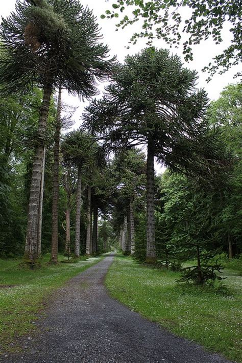 Garden Of Tree Crossword 17 Best Images About Monkey Puzzle Trees On