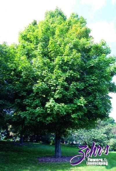 names of shade trees 28 images unity maple zehrs