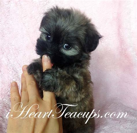 teacup morkie puppies california morkie breeder archives iheartteacups