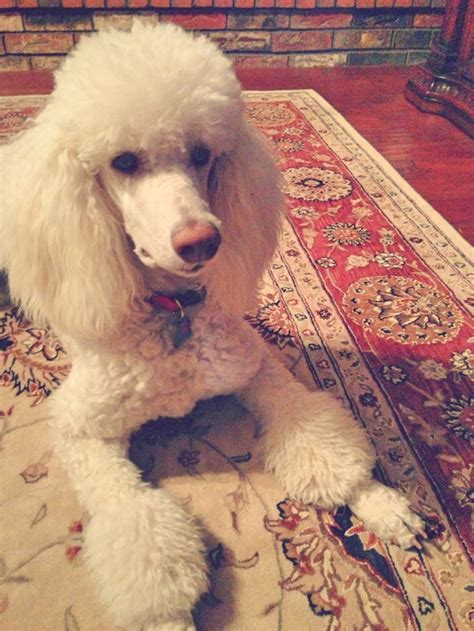 1000 images about doggy doos on pinterest poodles shih 1000 images about poodle standards on pinterest