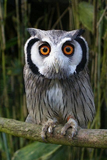 Pooping Eye Cuteeee white faced scorps owl by royspiccys owls owl and