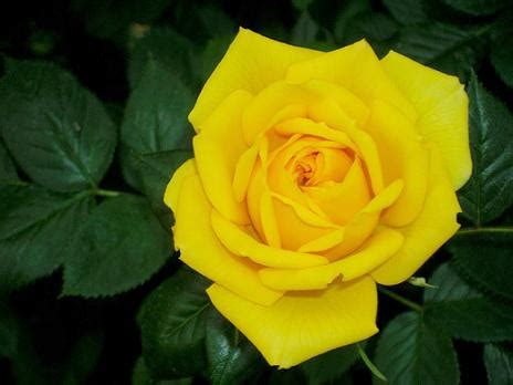 fiori gialli di co poesia rosa gialla di sophrosouneh su efp fanfiction