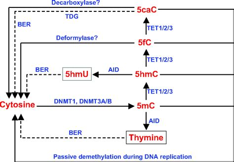 5 proteins in the tet family proteins and 5 hydroxymethylcytosine in