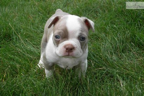 boston terrier puppies for sale in colorado boston terrier show breed breeds picture
