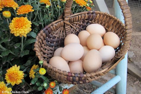 buff orpington egg color hatch along with the chicken part 3 the hatching