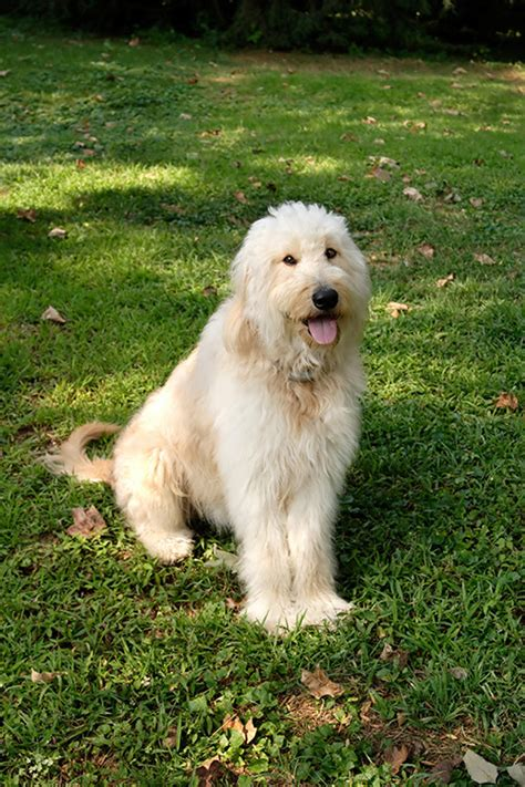 goldendoodle lifespan wellness care fort wayne in