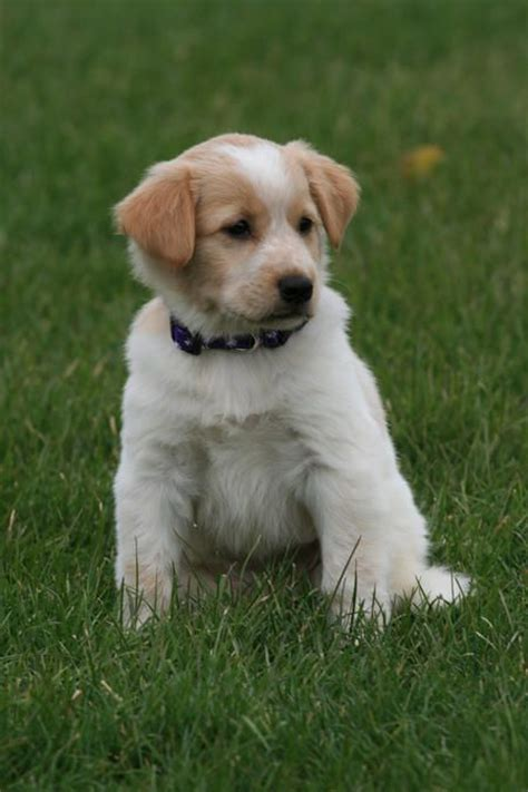 golden retriever maltese mix golden retriever maltese mix mixed breed dogs the golden the o jays