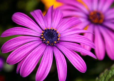 purple flowers flowers wallpapers