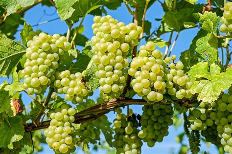 Green Grapes To The Rescue by The Ins And Outs Of Cultivating Grapes One Green Planet
