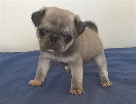 black and white pugs for sale chinchilla black and silver white pug puppies manchester greater manchester