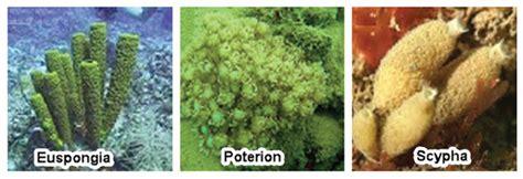 gambar hewan porifera gratis terbaik gambar hewan