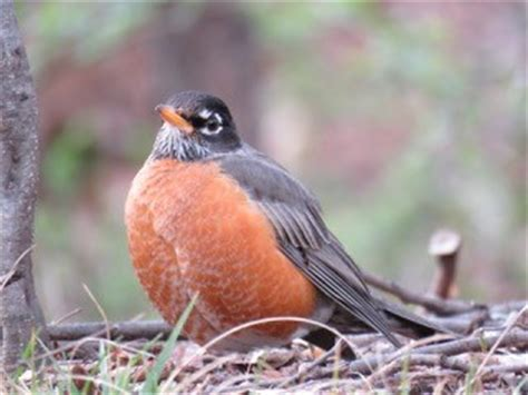 migration mysteries of the american robin