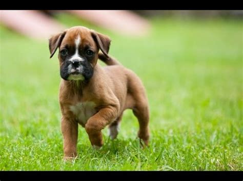 boxer puppies for sale in raleigh nc boxer puppies for sale local breeders funnydog tv