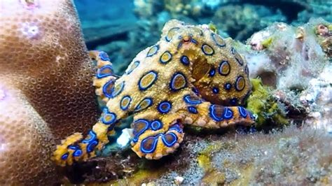 what color are octopus blue ringed octopus its bright warning colors