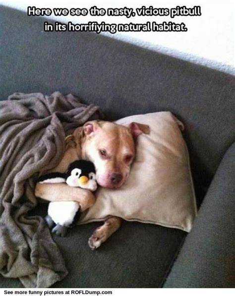 Pitbull Memes - dangerous pitbull attacked the penguin meme funny