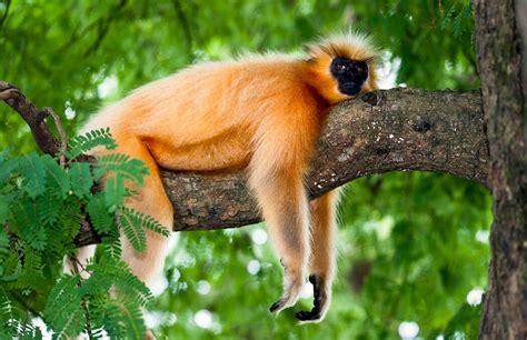 gees golden langur  england primate conservancy
