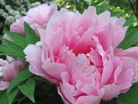 pink peonies peony wallpaper ek 171 flower pictures 3599 hd wallpapers