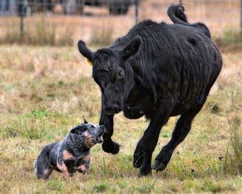 blue heeler cattle a blue heeler to herd cattle