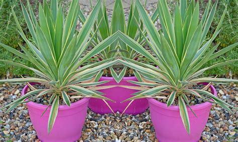 yucca bright edge plant groupon