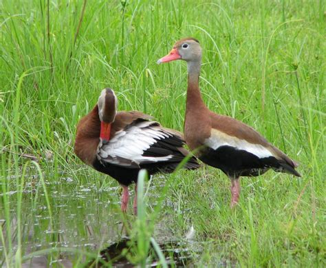black bellied whistling ducks at new pond bamboo for you