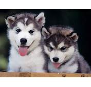 Breed Pro Siberian Husky  Sarasota Dog