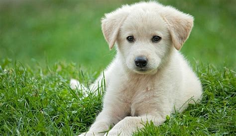 small golden retriever puppies the miniature golden retriever an in depth study and guide herepup
