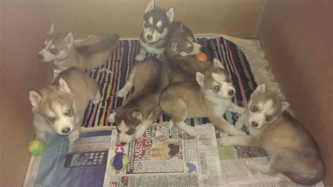 puppies for sale birmingham 7 siberian husky puppies for sale in birmingham birmingham west midlands pets4homes