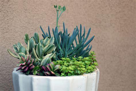 succulent pots succulent gardens in pots images